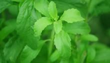 stevia-74187_1920