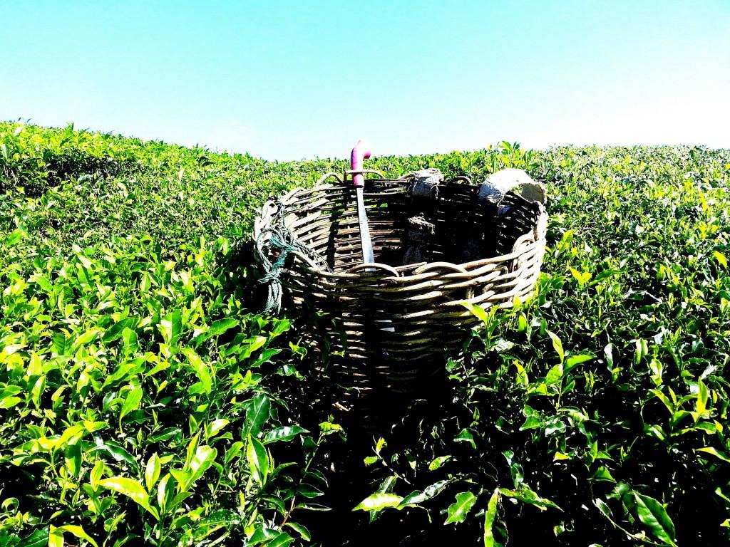 tea-plantation-261518_1920