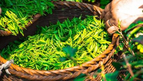 Té verde chino o japonés